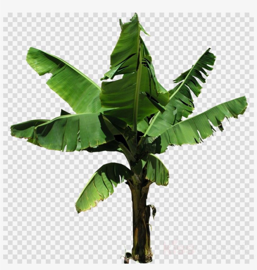 Banana trees pictures clipart jpg black and white stock Bananaplant Png Clipart Banana Clip Art - Banana Tree Plant Png PNG ... jpg black and white stock