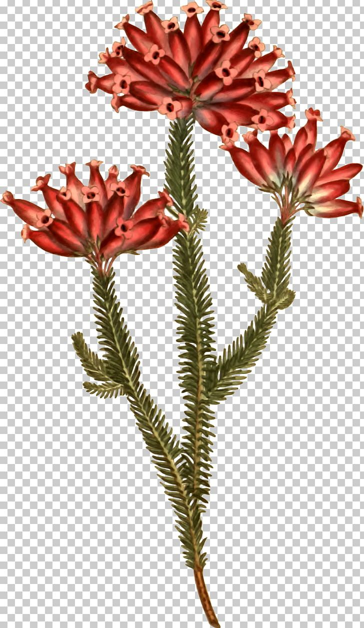 Banksia clipart image royalty free download Banksia Plants: Text Open Flowering Plant PNG, Clipart, Free PNG ... image royalty free download