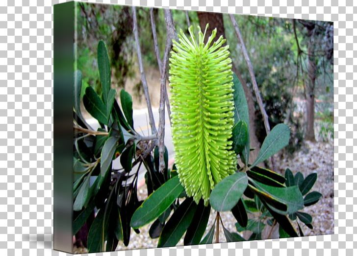Banksia clipart image free Banksia PNG, Clipart, Banksia, Flora, Flower, Grass, Marcia Banks ... image free