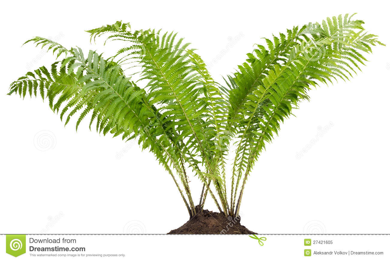 Barer tree images clipart png transparent stock Fern clipart fern tree - 46 transparent clip arts, images and ... png transparent stock