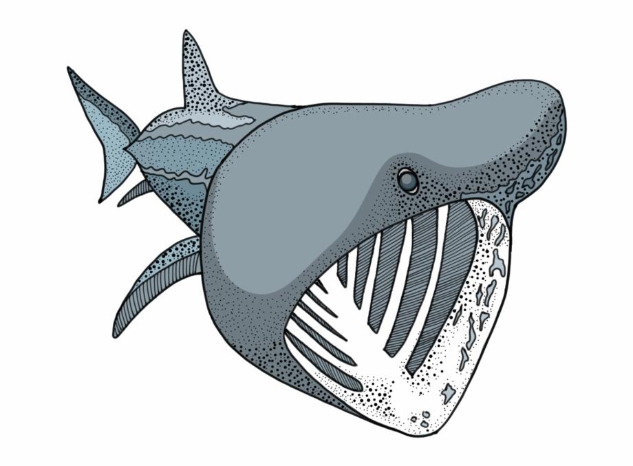 Basking shark clipart clipart freeuse Basking Shark - Shark, Transparent Png Download For Free #1629792 ... clipart freeuse