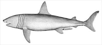 Basking shark clipart banner black and white download Free Basking-shark Clipart - Free Clipart Graphics, Images and ... banner black and white download