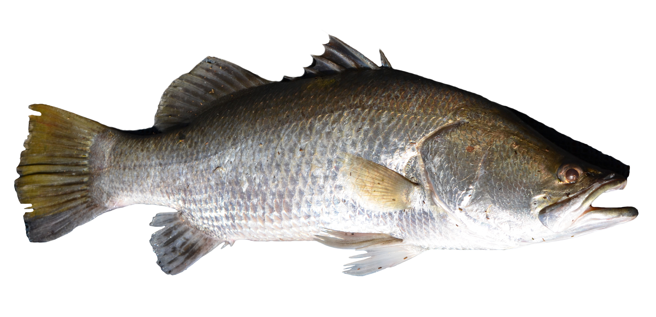 Bass fish clipart transparent background royalty free library Fish PNG Image - PurePNG | Free transparent CC0 PNG Image Library royalty free library