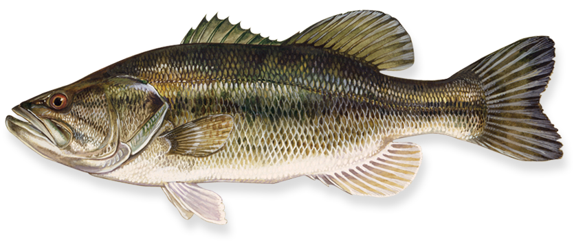 Bass fish clipart transparent background png royalty free library Fish PNG image, free download png royalty free library