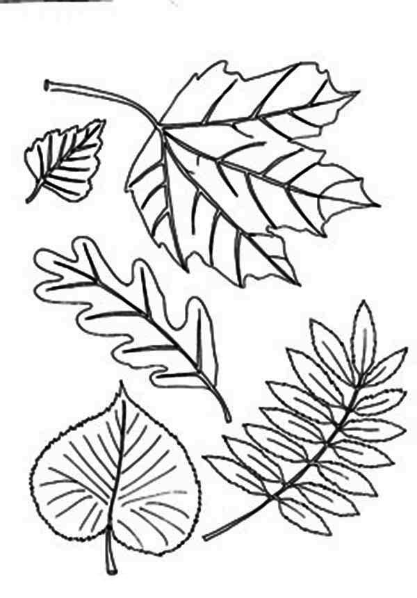 Basswood leaf clipart abstract coloring banner black and white library Different Type of Autumn Leaf Coloring Page | Address Pillar | Leaf ... banner black and white library