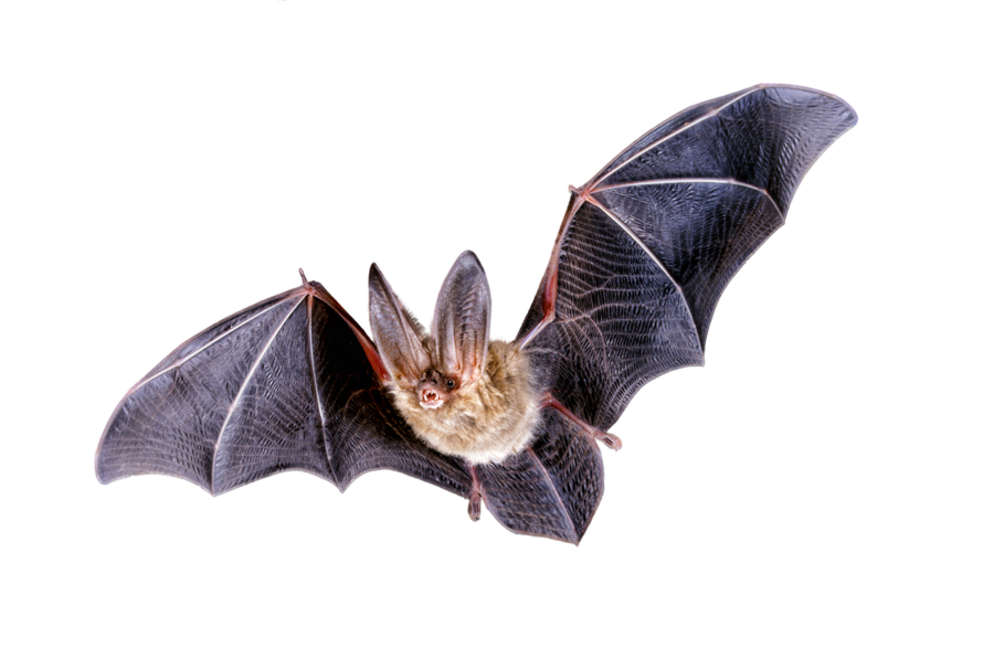 Bat realistic clipart graphic library stock Free Bat, Download Free Clip Art, Free Clip Art on Clipart Library graphic library stock