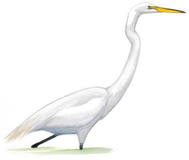 Bayou heron bird transparent clipart image freeuse Audubon Louisiana image freeuse