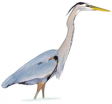 Bayou heron bird transparent clipart clip art transparent stock Audubon Florida clip art transparent stock