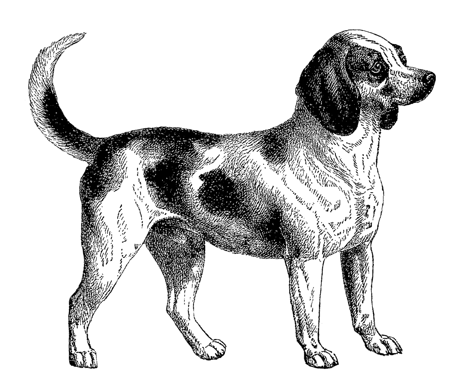 Beagle dog clipart freeuse Antique Images: Digital Download of Beagle Dog Clip Art Vintage ... freeuse