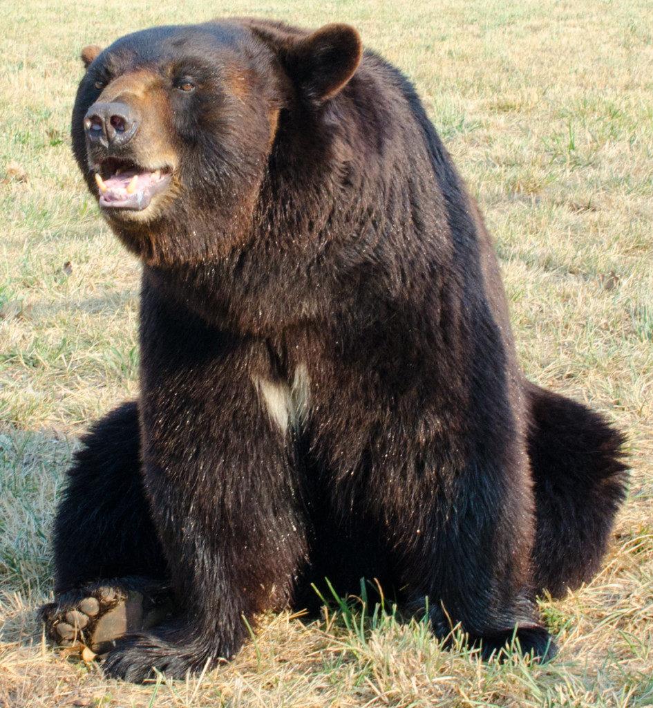 Bear eating black berry clipart freeuse stock Black Bear | Turpentine Creek Wildlife Refuge freeuse stock