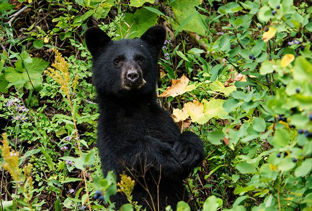 Bear eating black berry clipart image stock Bears, Berries, and Bees: The Implications of Changing Phenology ... image stock