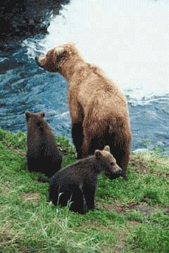 Bear eating black berry clipart freeuse stock Bears: Facts (Science Trek: Idaho Public Television) freeuse stock