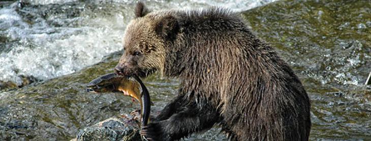 Bear eating black berry clipart clipart Bear\'s Food and Diet - BearSmart.com clipart