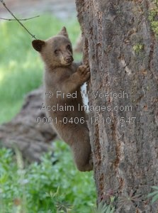 Bear in a tree clipart banner free stock bears in trees clipart images and stock photos | Acclaim Images banner free stock