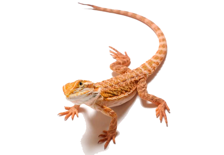 Bearded dragon clipart jpg free stock Lizard Bearded dragons Clip art - Bearded Dragon PNG Clipart png ... jpg free stock