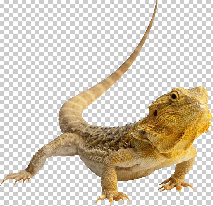 Bearded dragon clipart graphic royalty free download Lizard Central Bearded Dragon Eastern Bearded Dragon Agama PNG ... graphic royalty free download