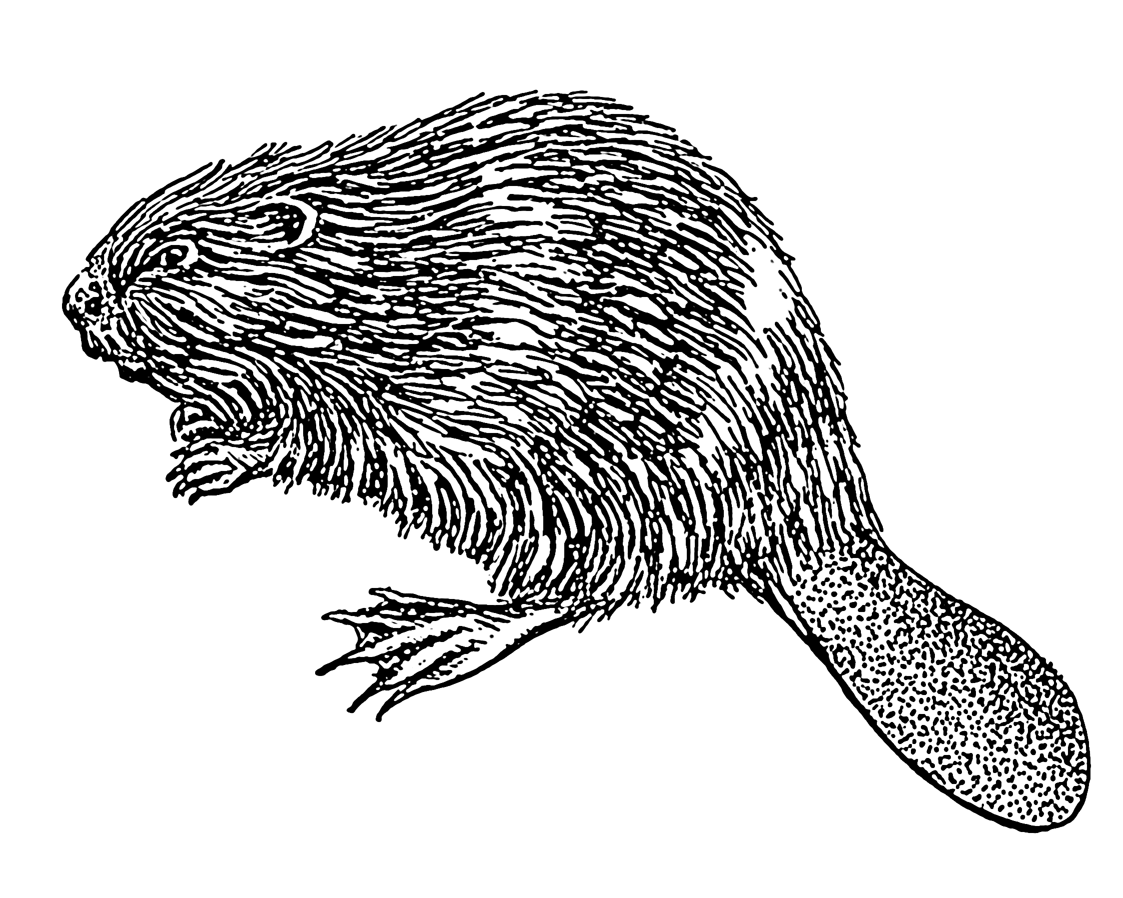 Beaver house clipart png freeuse Beaver Drawing at GetDrawings.com | Free for personal use Beaver ... png freeuse