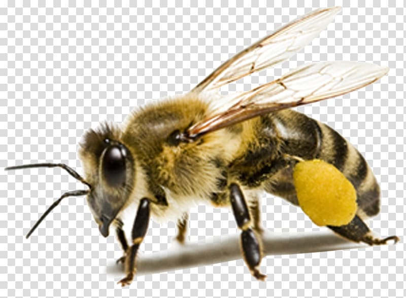 Bee ant clipart vector library stock Macro of honey bee, Honey bee Insect Ant, honey bee transparent ... vector library stock