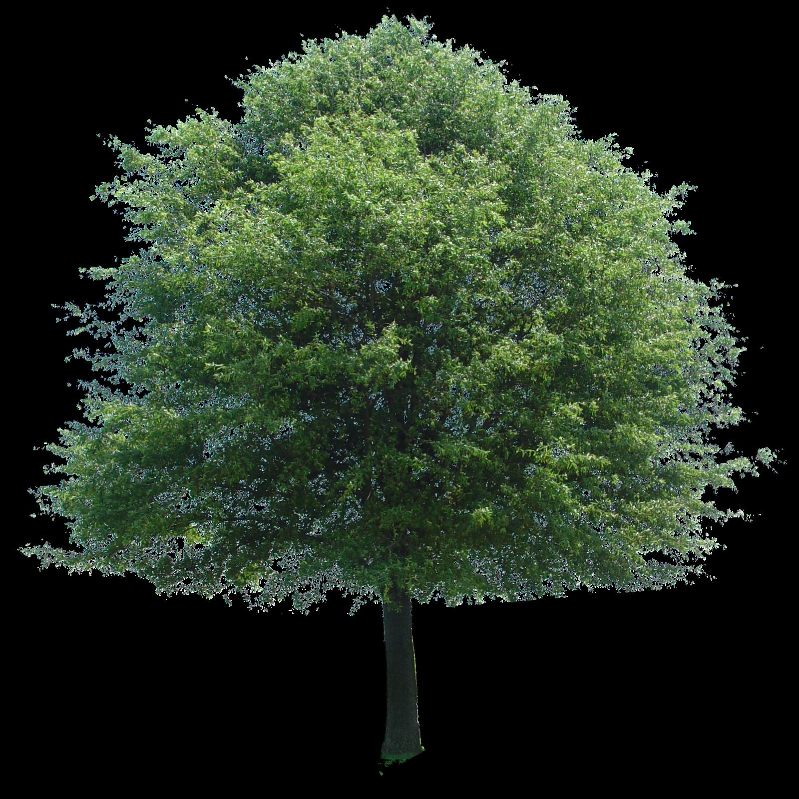 Free clipart images oak tree jpg royalty free Image Of Tree #5052 - 1280×720 | Tanvadance jpg royalty free
