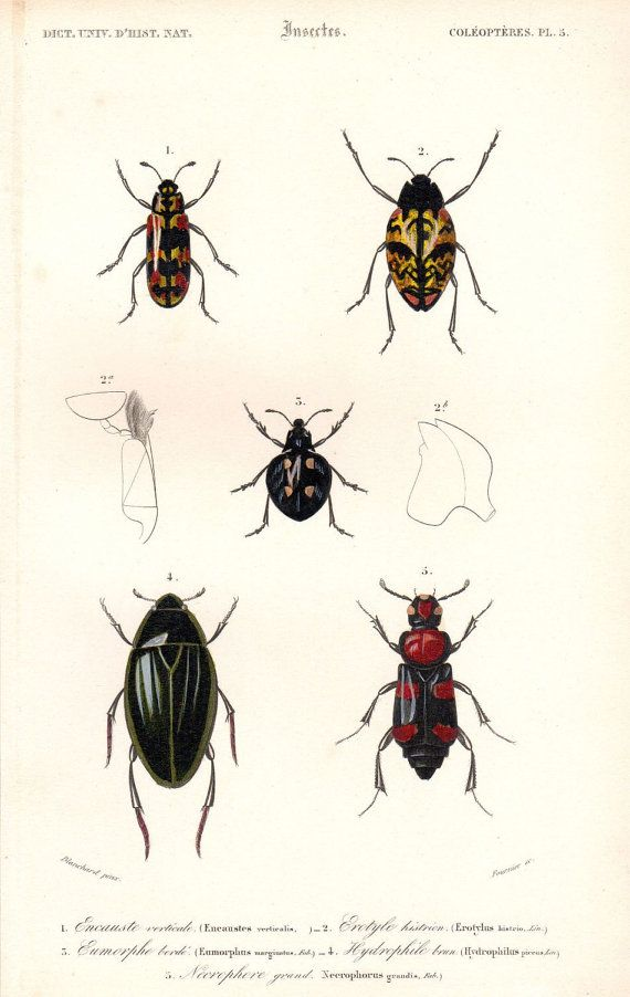 Beetle print clipart clipart royalty free library Antique Beetle Print Bugs Insect Print Insect Art French Natural ... clipart royalty free library