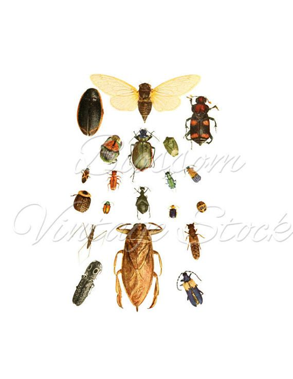 Beetle print clipart png free Insects Print, Beetles Vintage Print, Clipart, PNG Insects, Wall ... png free
