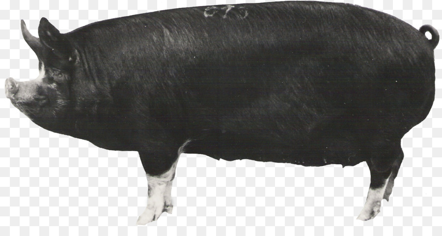 Berkshire pig clipart picture library Pig Cartoon png download - 1507*783 - Free Transparent Berkshire Pig ... picture library