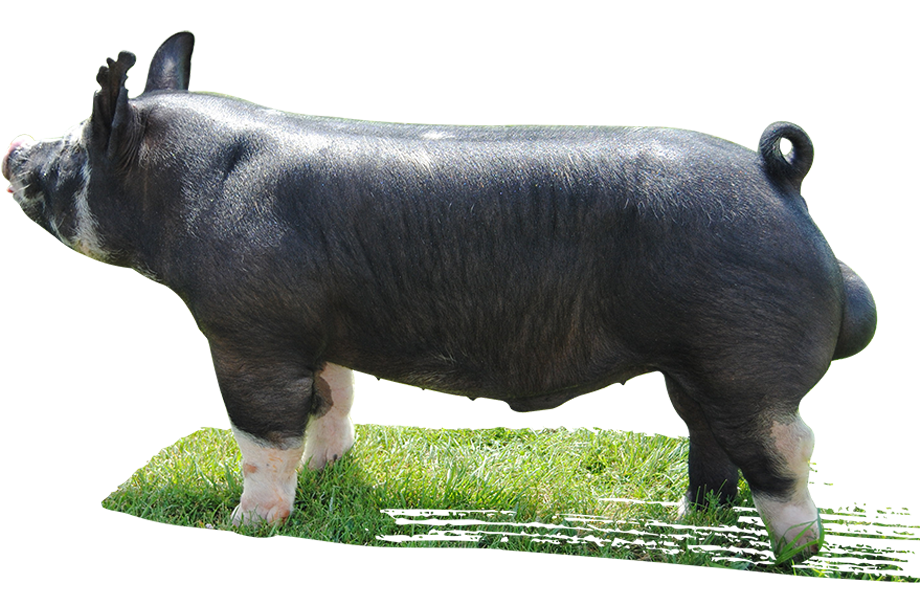 Berkshire pig clipart graphic download Berkshire pig Cattle Livestock Mauck Show Hogs Herd - boar png ... graphic download