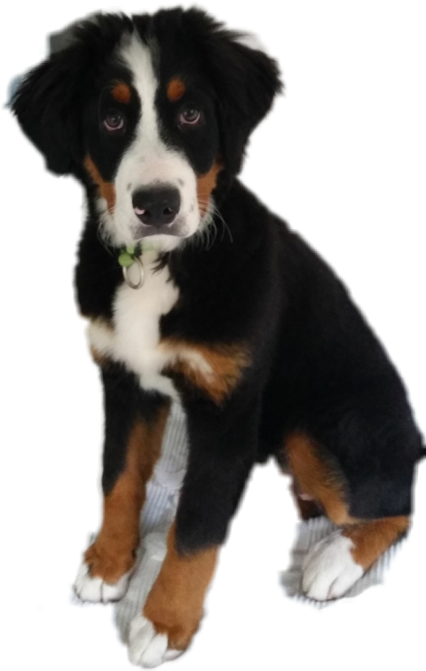 Bernese mountain dog clipart clip art stock The Newest obedience Stickers on PicsArt. clip art stock