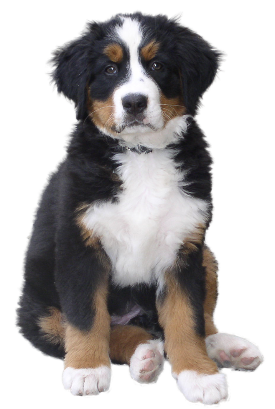 Bernese mountain dog clipart graphic transparent Dogs PNG in High Resolution | Web Icons PNG graphic transparent
