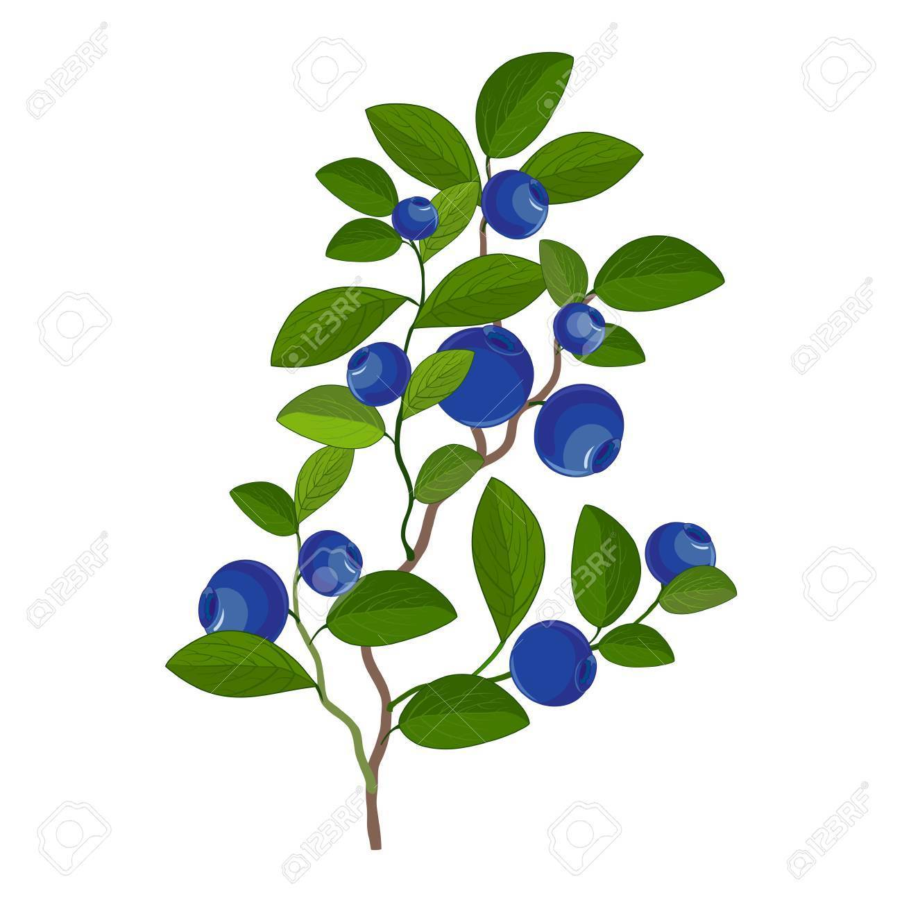 Berries on a bush clipart vector royalty free Bush blueberries, berries, leaves » Clipart Portal vector royalty free