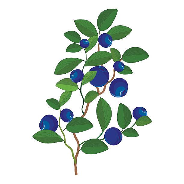 Berry plant clipart picture royalty free Berries clipart berry plant - 78 transparent clip arts, images and ... picture royalty free