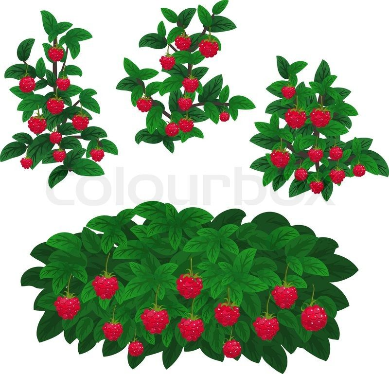 Berry plant clipart clipart free Raspberries Clipart wild berry 16 - 800 X 769 Free Clip Art stock ... clipart free