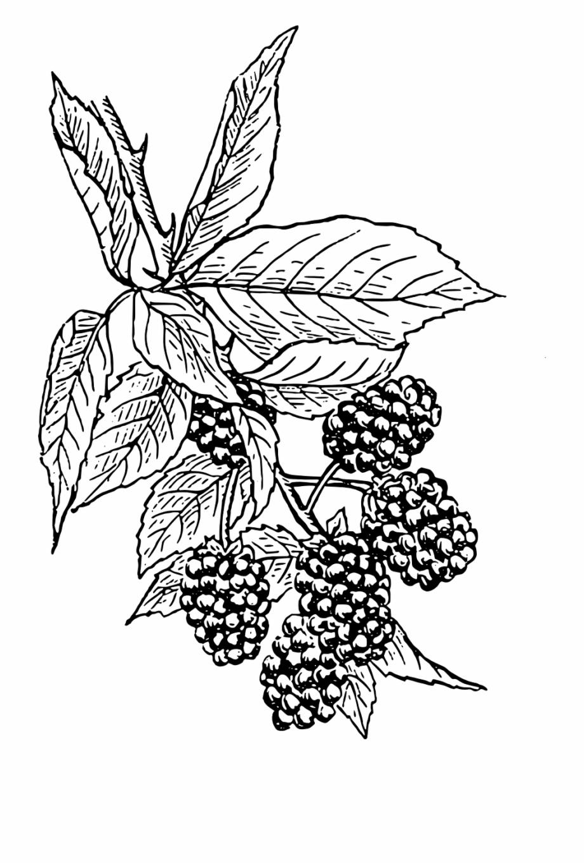 Berry plant clipart image freeuse download Blackberries Vine Bush Fruit Png Image - Black Berry Plant Drawing ... image freeuse download