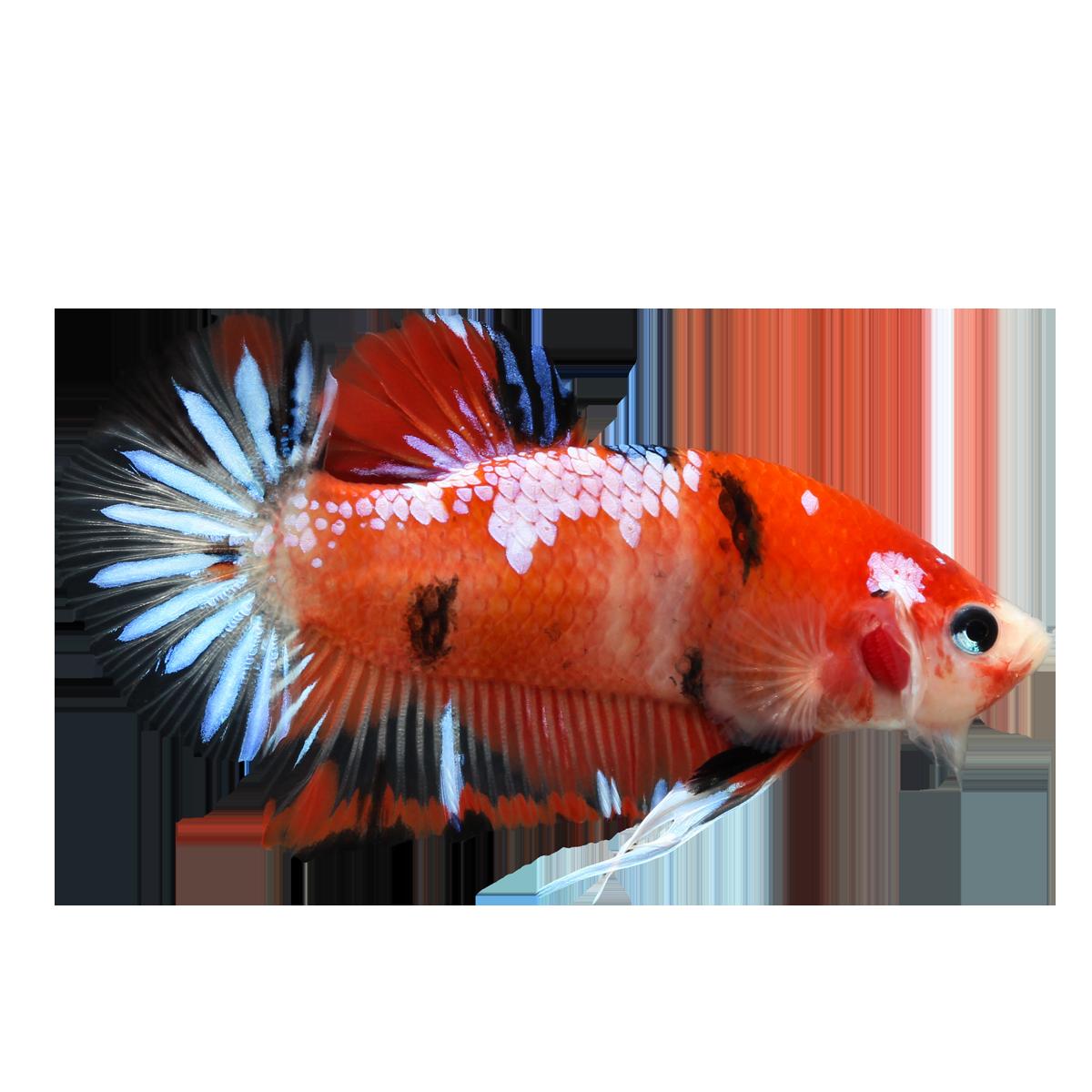 Betta fish clipart clipart free download Betta PNG Pic | PNG Mart clipart free download
