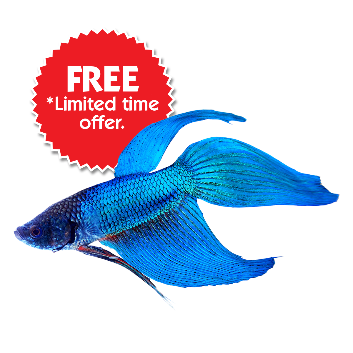 Beta fish clipart black and white picture transparent stock Buy Betta Fish Online & Save On Fish Bowl Kits | Home | GoBetta picture transparent stock