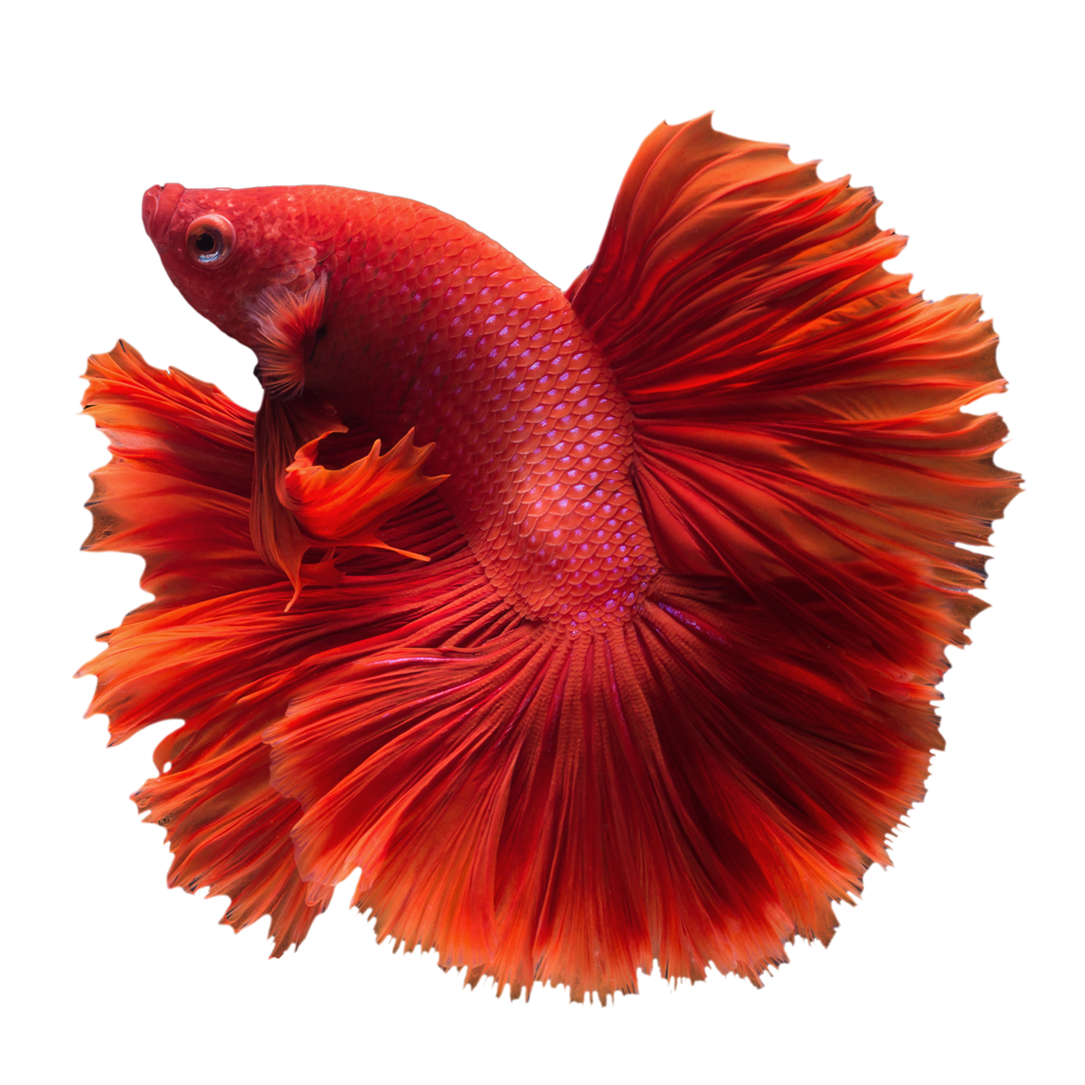 Betta fish clipart picture free stock Buy Betta Fish Online & Save On Fish Bowl Kits | Home | GoBetta picture free stock