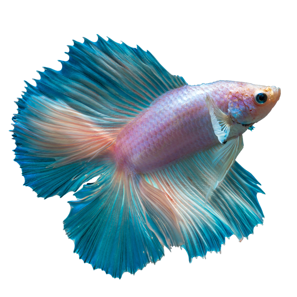 Cute beta fish clipart clip download 28+ Collection of Betta Fish Clipart | High quality, free cliparts ... clip download