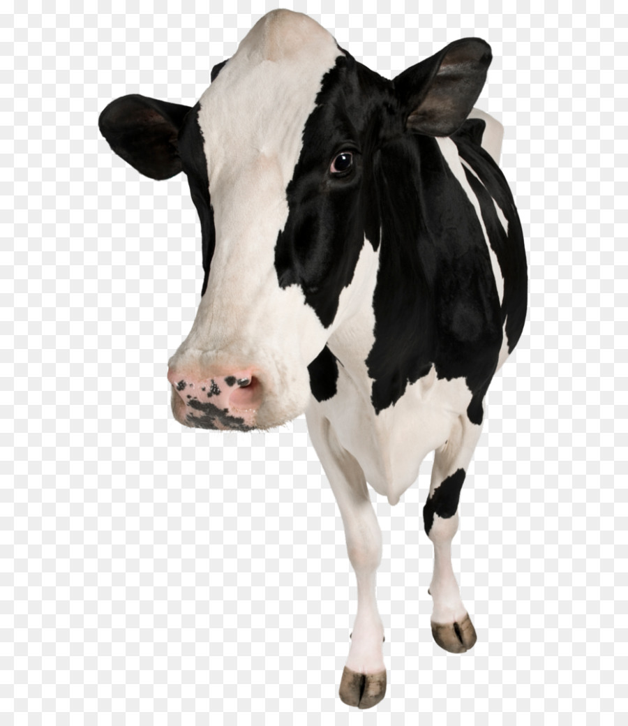 Betsy cow clipart svg free library Cow Background png download - 791*1024 - Free Transparent Holstein ... svg free library