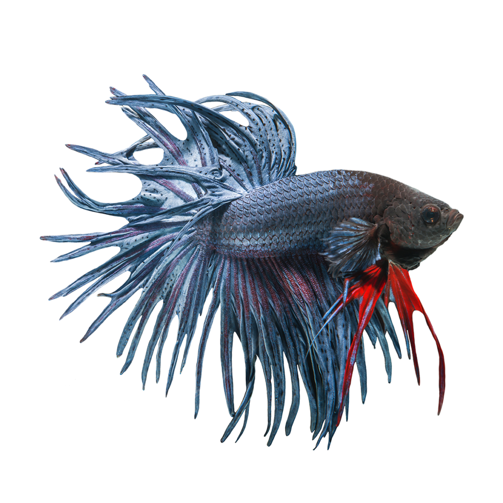 Betta fish clipart free picture black and white download Betta PNG Image - peoplepng.com picture black and white download