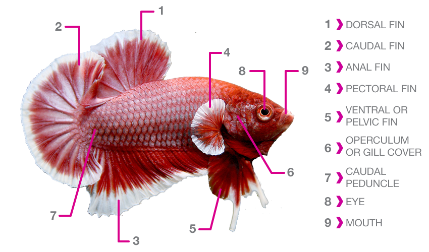 Betta fish in a bowl clipart png free stock small pet interviews | | Page 2 png free stock