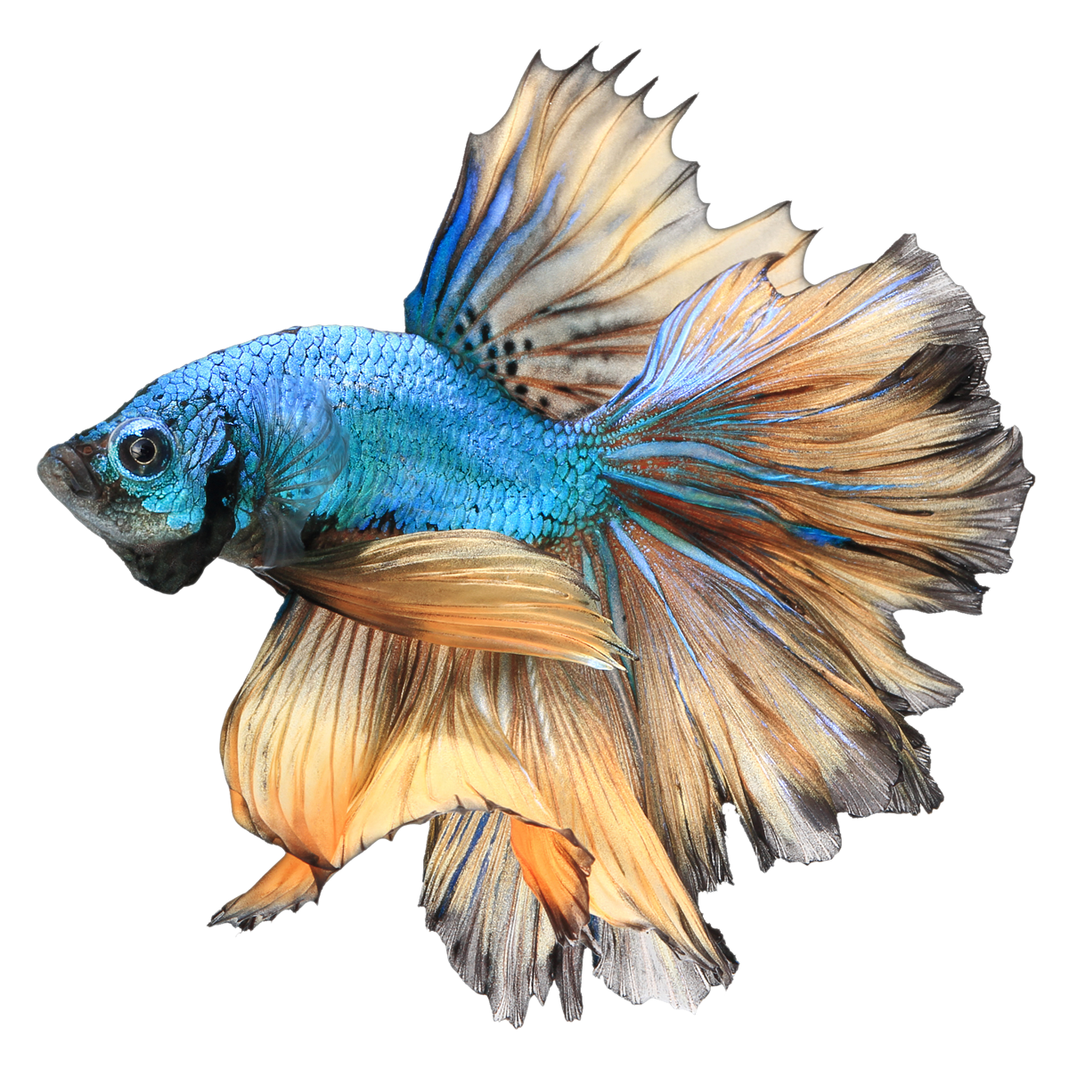 Betta fish in a bowl clipart graphic royalty free Blue Paradise Male Betta | GoBetta graphic royalty free