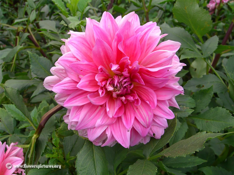 Big images of flowers. Pink dahlia flower picture