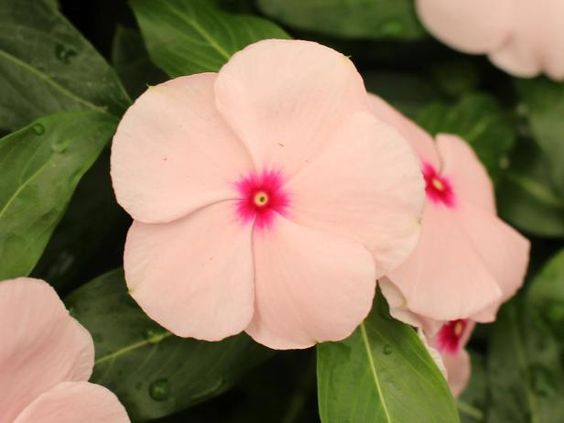 Valiant apricot vinca from. Big images of flowers