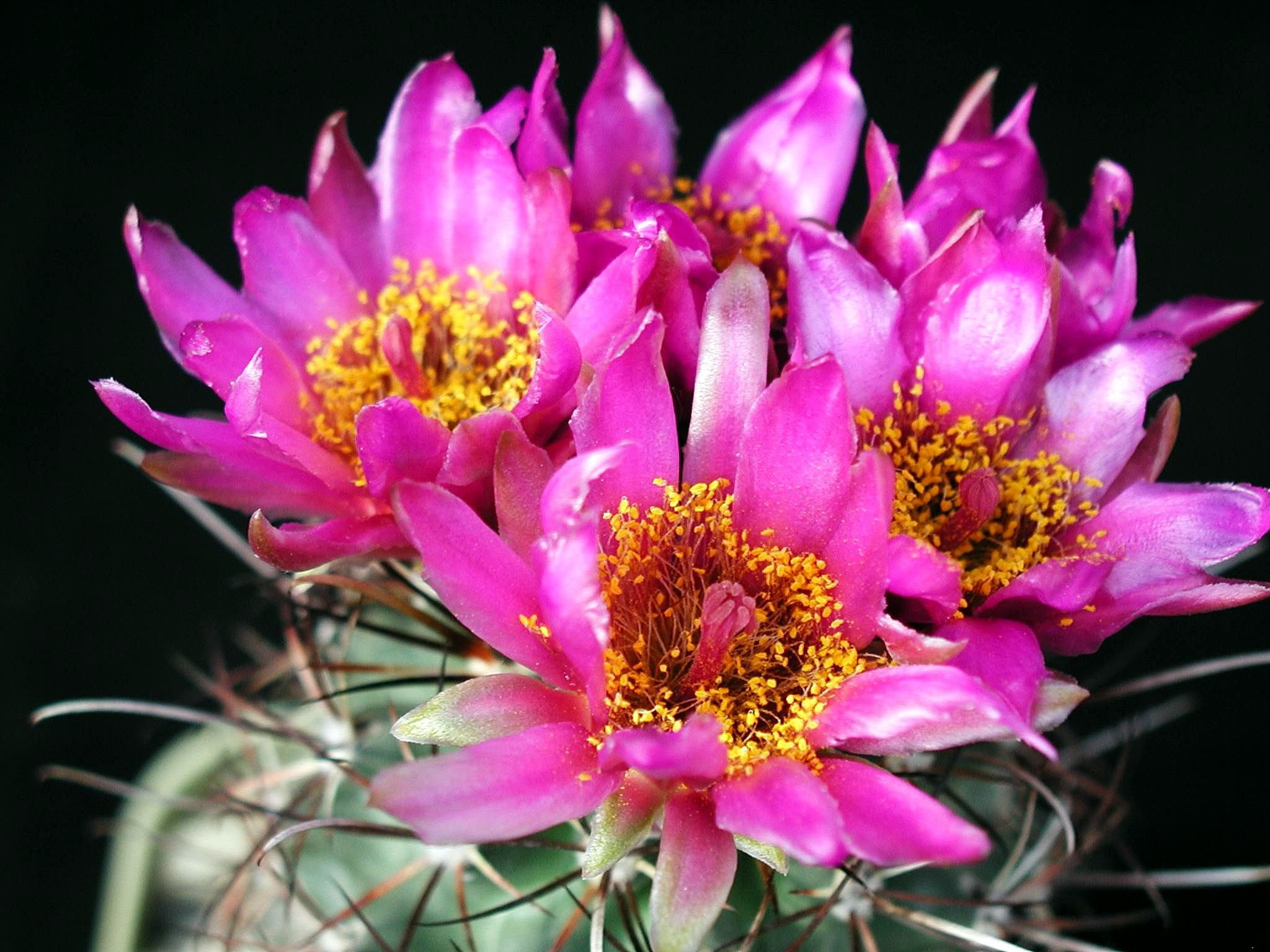 Big images of flowers. Clipartfest filebig cacti flowersjpg