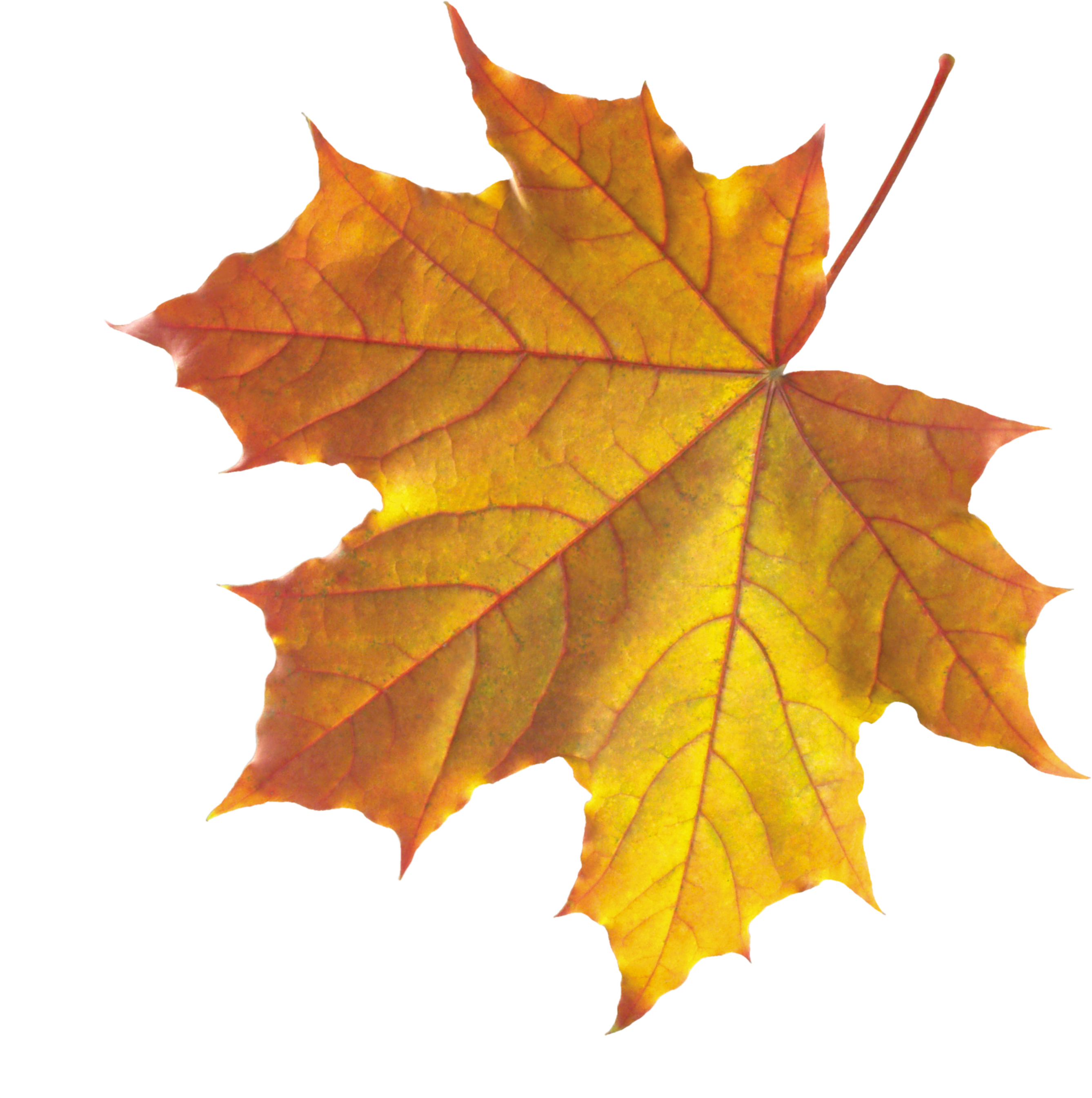 Bing clipart leaves fall jpg transparent Autumn leaf drawings clipart images gallery for free download ... jpg transparent