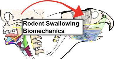 Age-related alterations in swallowing biomechanics - ScienceDirect clip stock