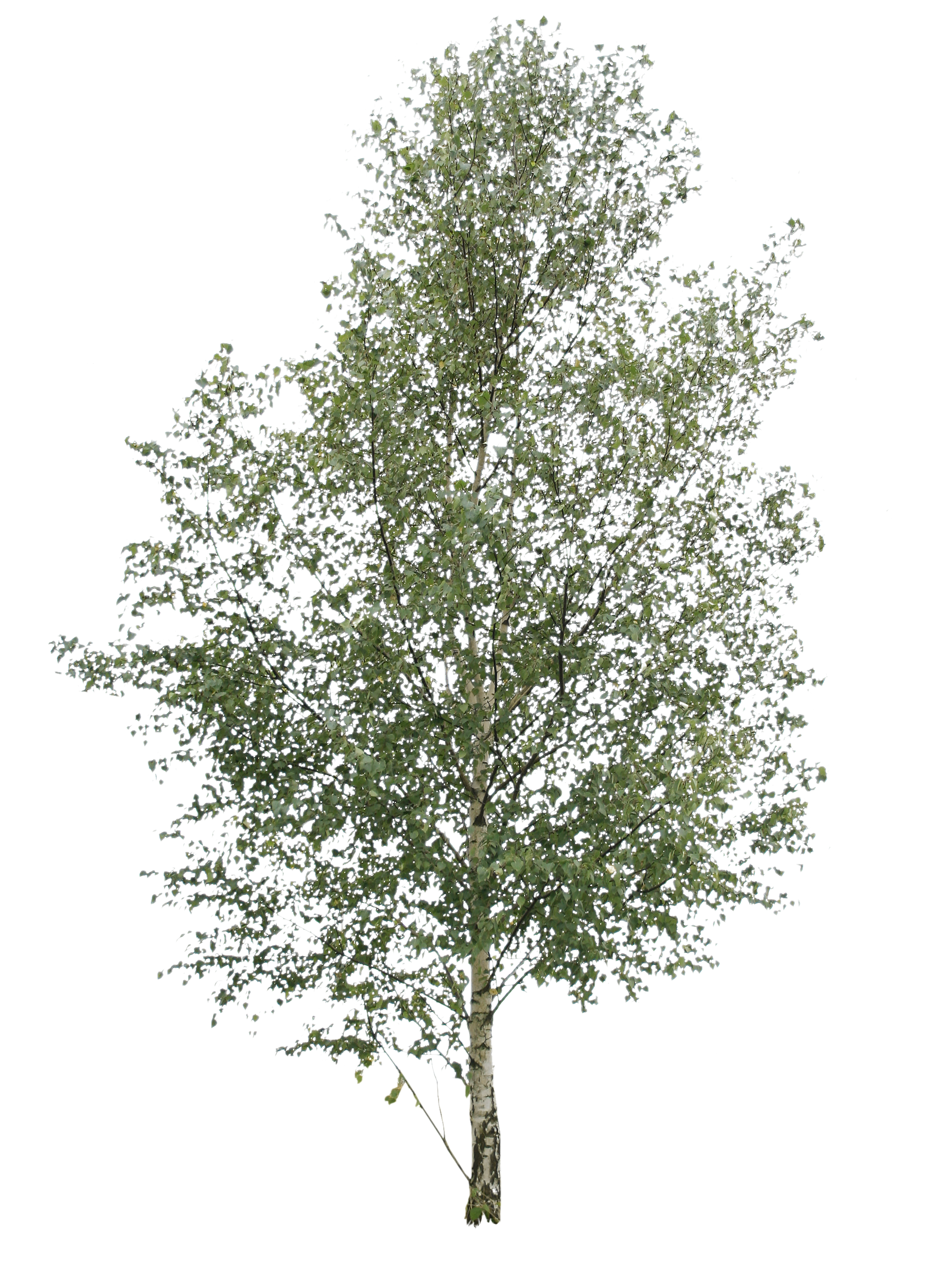 White birch tree clipart clip art library Earth Birch wallpapers (Desktop, Phone, Tablet) - Awesome Desktop ... clip art library