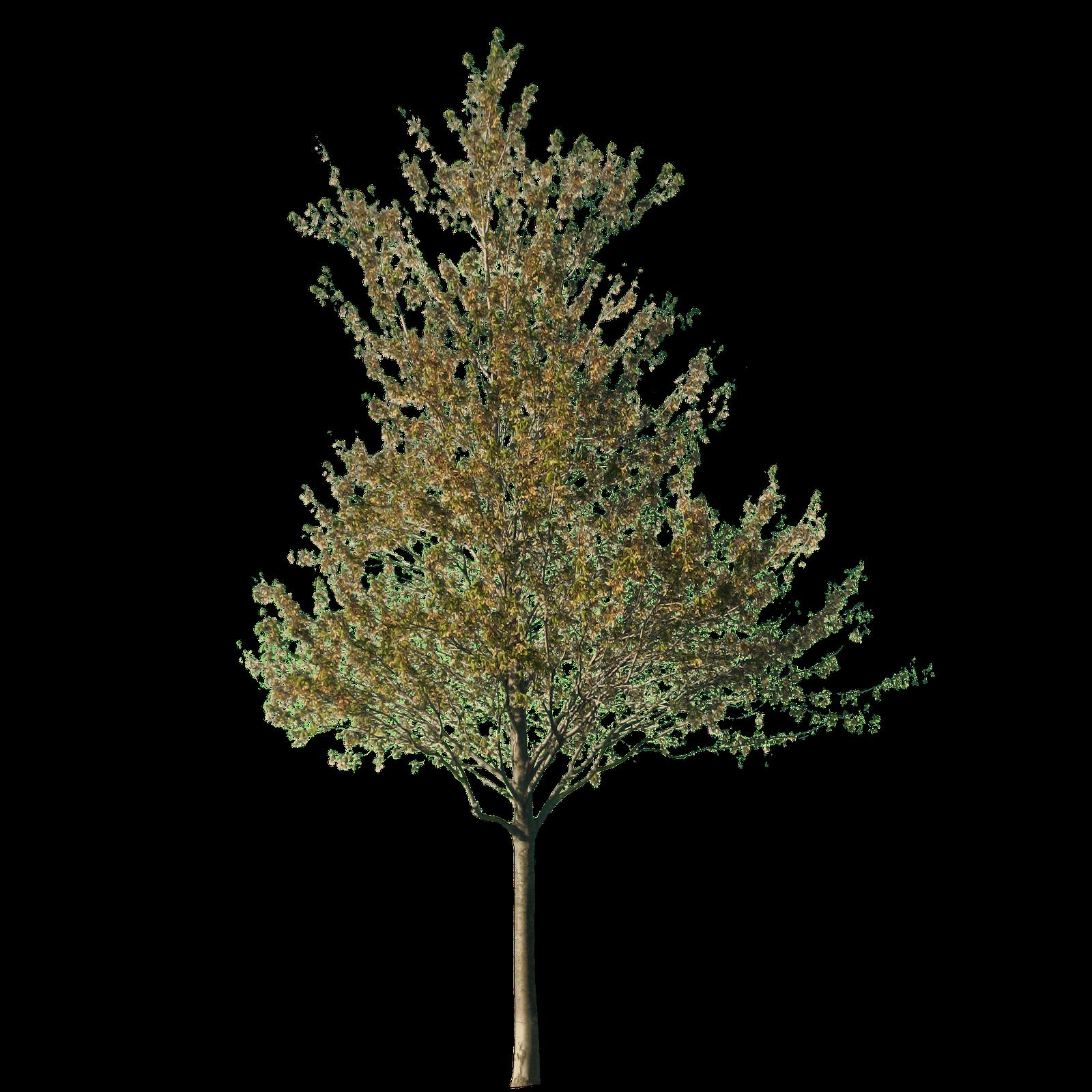 Birch tree clipart clip transparent cutout tree   Cutout   Pinterest   Architecture clip transparent