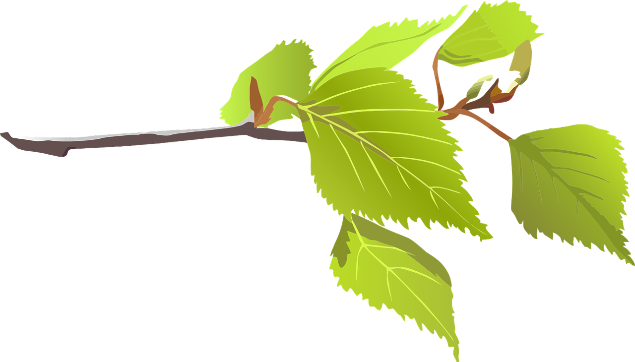 Elm tree clipart banner Birch Leaf Drawing at GetDrawings.com | Free for personal use Birch ... banner