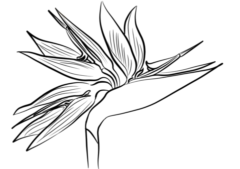 Bird of paradise clipart black and white png freeuse Bird of Paradise Flower (Strelitzia) coloring page | Free Printable ... png freeuse